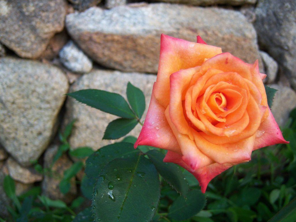 hygge lagom rose